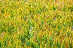 Corn field with spica in detail Stock Photo