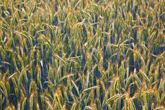 Corn field with spica and structured spear Royalty Free Stock Photos