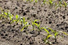 Corn field. Spring Royalty Free Stock Image