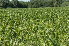 Corn field in spring, France. Corn field in spring, Aisne, Picardie region of France royalty free stock photography