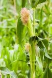 Corn Field. Corn stalks in field grow towards Stock Image