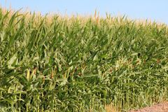 Corn Field. Corn stock on plants at a field Royalty Free Stock Images