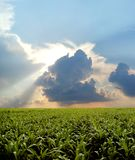 Corn field during stormy day stock photos