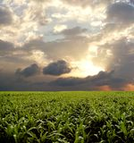 Corn field during stormy day Royalty Free Stock Photos
