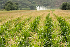 Corn field at summer. Cornfield in irrigation at summer time Royalty Free Stock Photos