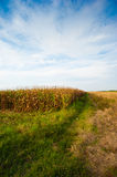 Corn field in summer Stock Photography