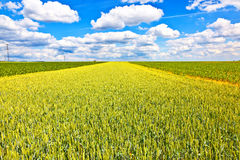 Corn field in summer with blue sky Stock Photos