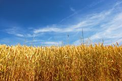 Corn field a summer day Royalty Free Stock Photography