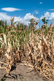 Corn field during summer. Dried out corn field after harvest during late summer Royalty Free Stock Image
