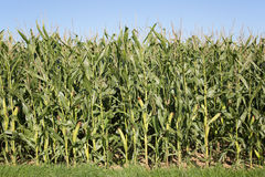 Corn field in summer before harvest Stock Image