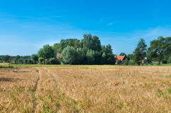 Corn field in summer. Corn field in the netherlands with a farm in the background Royalty Free Stock Photo
