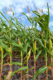 Corn Field in Summer - Rural Michigan, USA Royalty Free Stock Photo
