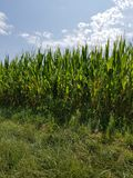 Summer sun corn field overgrown Royalty Free Stock Images