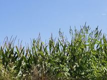 Summer sun corn field overgrown Stock Image
