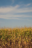 Corn field, summer time Stock Photos