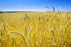 Corn field in summer time Royalty Free Stock Photos