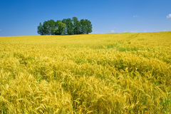 Corn field in summer time Stock Image