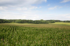 Corn field, summer time Stock Photography