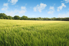 Corn field on a summers day Royalty Free Stock Image