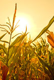 Corn field with sun. Corn field in the powerful afternoon sun Stock Image