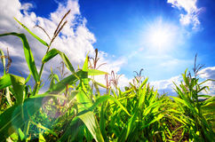 Corn field with the sun, blue sky and beautiful lens flare Stock Image