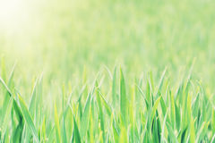 Corn field in sun rays Royalty Free Stock Photos