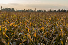 Corn field at sundown Royalty Free Stock Photos