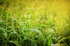 Corn field in sunlight Royalty Free Stock Photography