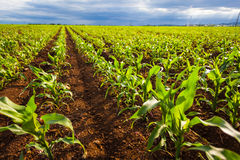 Corn field in sunlight. Green corn field growing in sunlight stock images