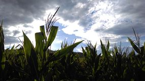 Corn field on sunny cloudy sky Royalty Free Stock Photos