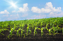Corn field on a sunny day Stock Images