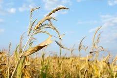 Corn field in sunny day Stock Photo