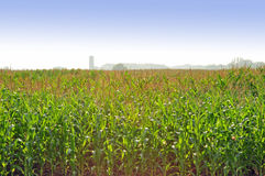 Corn field. On a sunny day with a farm in the background Stock Photos