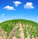 Corn field in sunny day. Royalty Free Stock Images