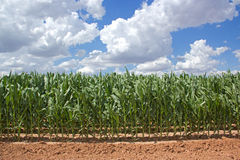 Corn field on sunny day. Field of green corn on farm against blue skies with white clouds on sunny day Royalty Free Stock Image