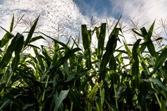 Corn field sunny summer day. Close-up. Focus on foreground cloudy blue sky in background Royalty Free Stock Photos