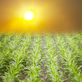 Corn field at sunrise Stock Images