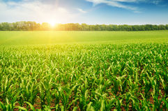 Corn field. Sunrise over the corn field Royalty Free Stock Photography
