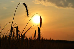 Corn field at sunset Royalty Free Stock Photography