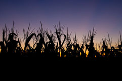 Corn field at sunset Royalty Free Stock Photos
