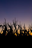 Corn field at sunset Royalty Free Stock Images