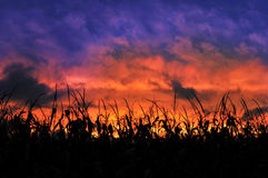 Corn Field During a Sunset Stock Photography