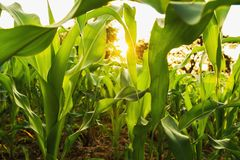 corn field and sunset. agriculture stock photo