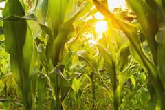corn field and sunset. agriculture stock photography