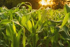corn field and sunset. agriculture stock photos