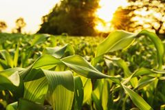 corn field and sunset. agriculture stock image