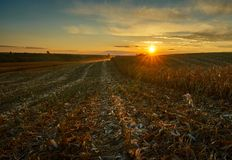 Corn field at sunset. In harvesting season Stock Photos