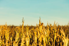 Corn field at the sunset Royalty Free Stock Photos