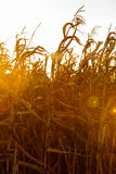 Corn field at the sunset Royalty Free Stock Photo