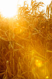 Corn field at the sunset Royalty Free Stock Photography